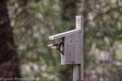 Tree Swallows_7