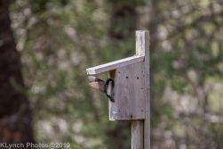 Tree Swallows_8