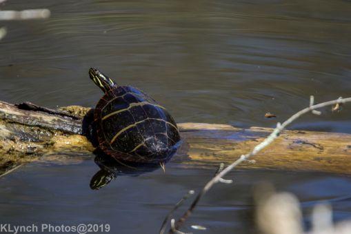 Turtles_11