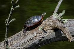 Turtles_12