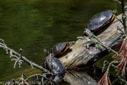 Turtles_13