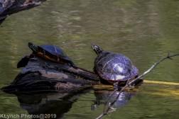 Turtles_15