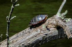 Turtles_17