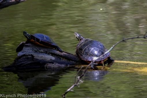 Turtles_19