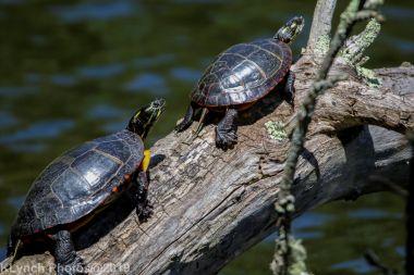 Turtles_21