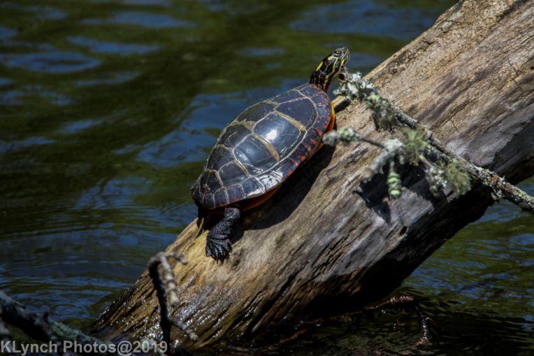 Turtles_22