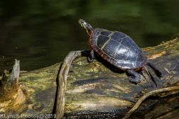 Turtles_5