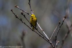 Warbler_3