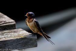 Barn swallow_1