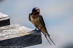 Barn swallow_3