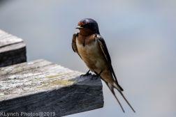 Barn swallow_4