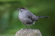 Catbird_12