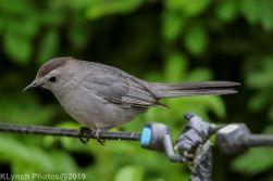 Catbird_13