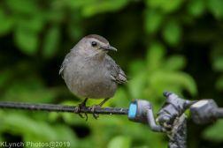 Catbird_14