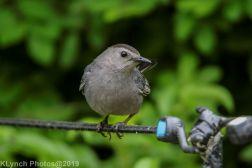 Catbird_15