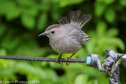 Catbird_16
