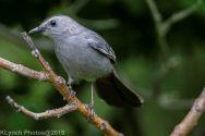 Catbird_19