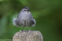 Catbird_3