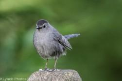 Catbird_7