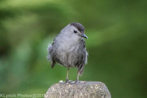 Catbird_8