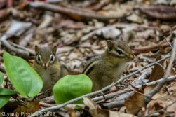 Chipmunks_1