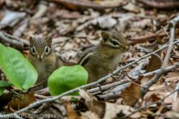 Chipmunks_2