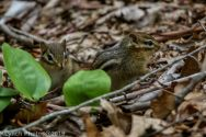 Chipmunks_3