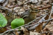 Chipmunks_4
