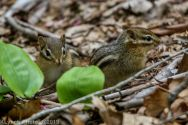 Chipmunks_5