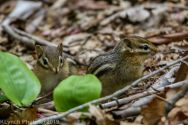 Chipmunks_6