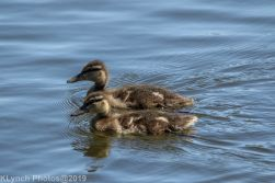 Ducklings_1
