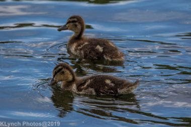 Ducklings_10