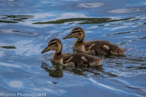 Ducklings_11