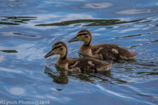 Ducklings_11