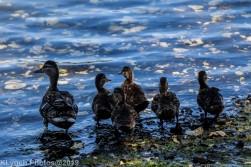 Ducklings_12