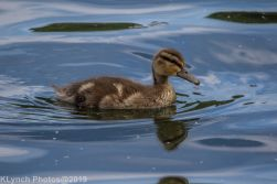 Ducklings_12