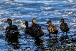 Ducklings_13