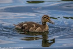 Ducklings_13