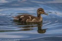 Ducklings_14