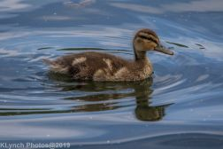 Ducklings_14