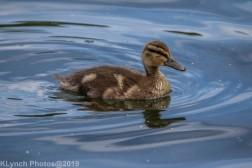 Ducklings_15