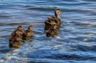 Ducklings_16