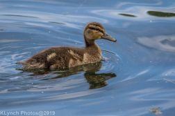 Ducklings_16