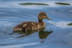 Ducklings_17