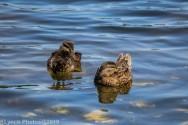 Ducklings_18