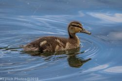 Ducklings_18