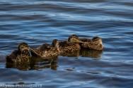 Ducklings_19