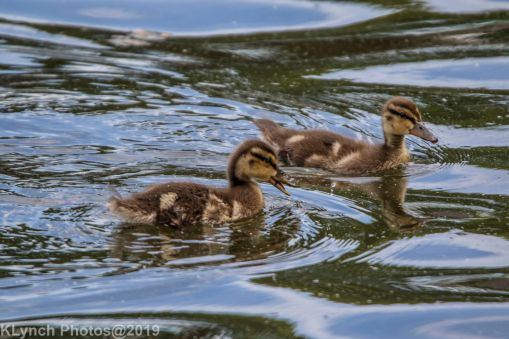 Ducklings_19