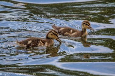 Ducklings_20