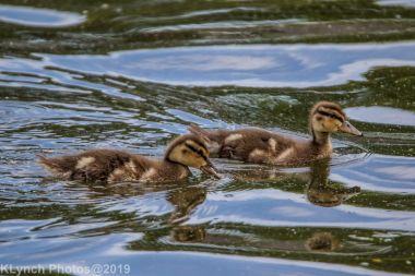 Ducklings_21